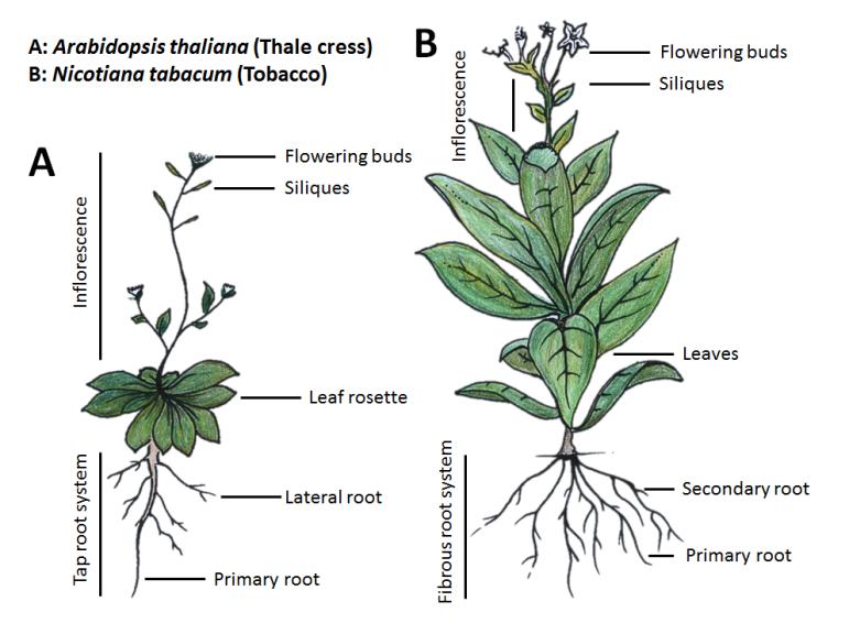 Model plant species