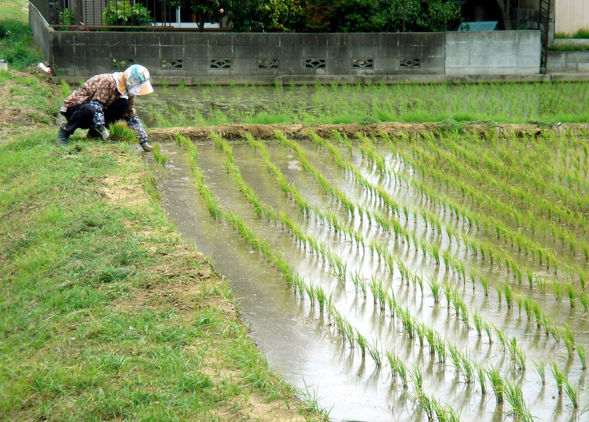 Working_in_the_Rice_Paddies_in_May